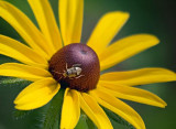 Bug On A Black Eyed Susan 62628