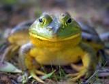 Bullfrog 62624
