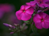 Purple Phlox 20070724