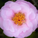 Pink Flower 63688