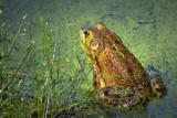 Bullfrog 63718