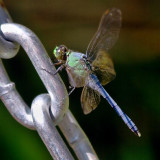Dragonfly On A Chain 64208
