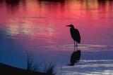 Heron In Dawn Glow 20070810