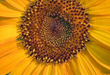 Sunflower 65057