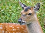 Grinning Deer 20070824