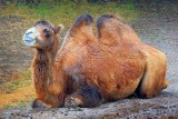 Bactrian Camel 65930
