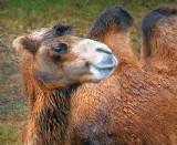 Smug Camel 65929