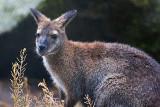Wallaby 65877