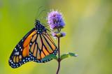 Monarch Butterfly 20070906