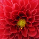 Red Flower 68565