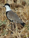 00227 - Spur-winged Lapwing / BGN airport - Israel