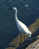 01354 - Little Egret / Jaffa bay - Israel