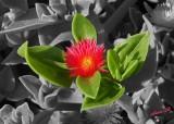 01432 - Flower / Jaffa - Israel