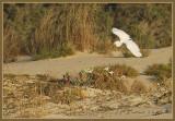 02099 - Little Egret landing... / Bet-Yanay beach - Israel