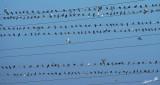 02113 - Pigeon's parking / Ramat-Gan - Israel