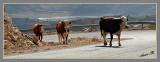 02532 - Cow convoy / Hermon mountain - Israel