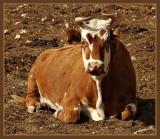 02535 - Cow / Hermon mountain - Israel