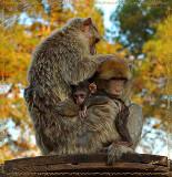 02731 - Family... | ? / Monkeys park - Israel