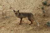 03054 - Fox / Netanya beach - Israel