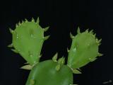 03479 - Mini cactus