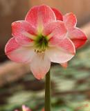 03888 - Amaryllis / Royal-Gardens hotel garden - Eilat - Israel