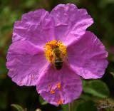 04193 - The bee & the flower (1st) / Princes island - Turkey