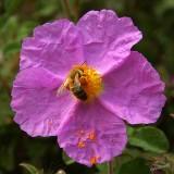 04194 - The bee & the flower (2nd) / Princes island - Turkey