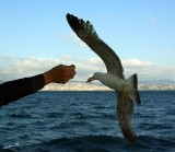 04255 - Eating from my hands... | Seagull / (on the way from) Princes island - Turkey