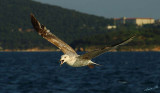 04256 - Give me some food... | Seagull / (on the way from) Princes island - Turkey