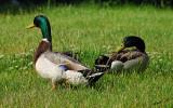 04393 - Duck... / Istanbul - Turkey