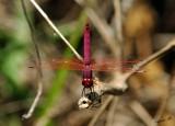 04569 - Trithemis artherosa... / Kinnereth lake - Israel