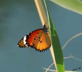 05008 - Butterfly / Crocodile river - Israel