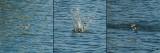 05032-5034 - Pied Kingfisher / Crocodile river - Israel