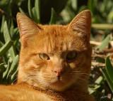 05076 - Sleepy red-headed cat / Jerusalem - Israel
