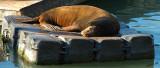 05103 - Sea lion / San-Francisco bay - CA - USA