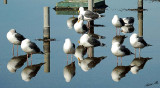 05180 - Seagull reflection / Alcatraz island - CA - USA