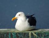 05181 - Seagull / Alcatraz island - CA - USA