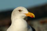 05217 - Looking in your eyes... | Seagull / Alcatraz island - CA - USA