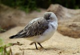 05307 - Dunlin baby... / Monterey bay aquarium - CA - USA