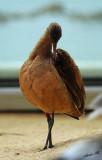 05310 - Long billed curlew / Monterey bay aquarium - CA - USA