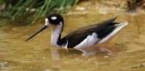 05312 - Black-necked stilt / Monterey bay aquarium - CA - USA