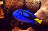 05337 - Blue Tang / Monterey bay aquarium - CA - USA