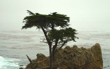 05346 - The tree on the cliff... / 17 miles drive - Monterey - CA - USA
