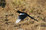 05386 - Yellow billed Magpie / Rd. 41 - CA - USA