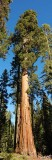 05392 - Giant Sequoia tree / Yosemite NP - CA - USA