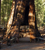 05403 - A tunnel in a giant Sequoia tree / Yosemite NP - CA - USA