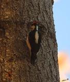 05414 - Downy Woodpecker / Yosemite NP - CA - USA