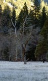 05420 - Frozen tree on frozen grass / Yosemite NP - CA - USA