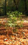 05443 - Tiny cypress / Yosemite NP - CA - USA