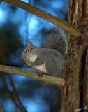 05466 - Western grey squirrel / Yosemite NP - CA - USA